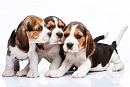 Italian court jails three executives of company planning to breed beagles in Yorkshire