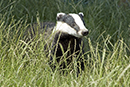Campaign To End Badger Digging And Baiting
