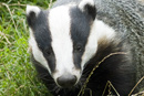 Badger Cull officially 'On Hold'
