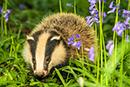 October 6 was National Badger Day