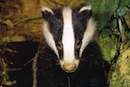British feds to cull badgers, ignoring lessons of 1,000 years