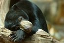 Building a future for rescued baby sun bears in Sumatra